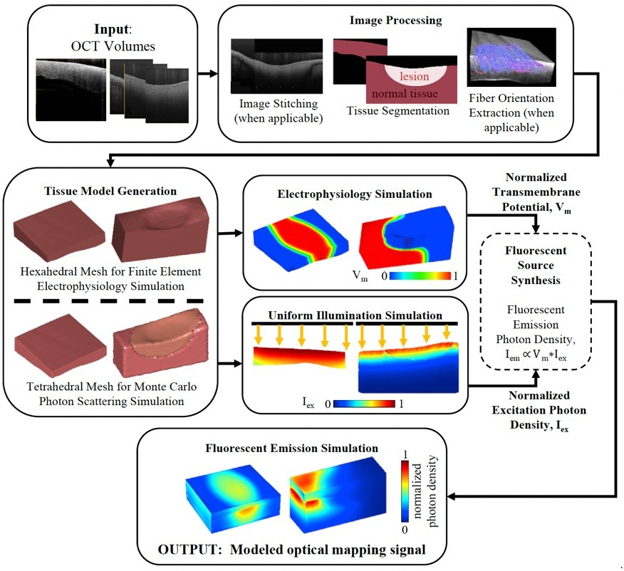 Optical Coherence Tomography Enabled Sample Specific Models